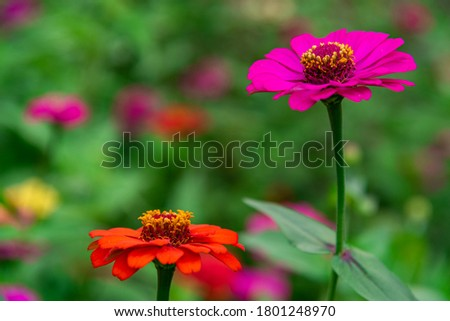 Flowers zinnia elegans. Color nature background.Macro photo of nature plant flower zinnia with beautiful petals. #1801248970