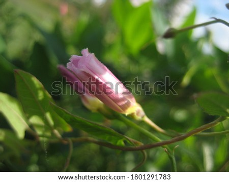 macro photo with a decorative background of a beautiful rosebud flower herbaceous plant bindweed for gardening as a source for prints, posters, decor, interiors, design, Wallpaper
