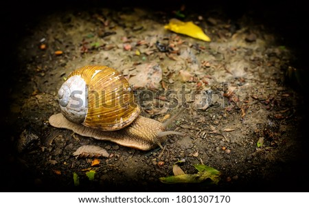 Edible snail (Helix pomatia) with brown-white shell crawling on the ground, strong vignetting, close-up