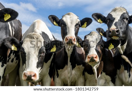 Holstein Friesian cattle (also  Schleswig-Holstein breed) with distinctive markings on pasture. Curious cows looking into camera. Tagged ears to identify animals. August day in Estonia. Royalty-Free Stock Photo #1801342759