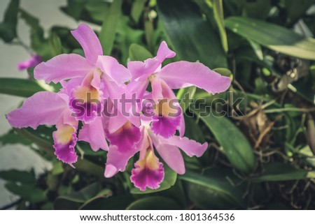 Picture of  orchid flowers blooming in the garden. Macro. Orchid pattern. Orchid selective focused background