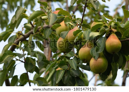 A bunch of pears in the tree. Benefits of pears. Blue sky Background Royalty-Free Stock Photo #1801479130