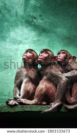 Three monkeys looking up picture