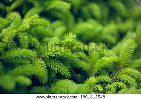Norway spruce - Picea abies or European spruce new needles. Natural coniferous background texture. Selective focus blur. Royalty-Free Stock Photo #1801613548