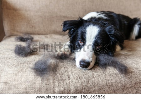 Funny portrait of cute puppy dog border collie with fur in moulting lying down on couch. Furry little dog and wool in annual spring or autumn molt at home indoor. Pet hygiene allergy grooming concept #1801665856