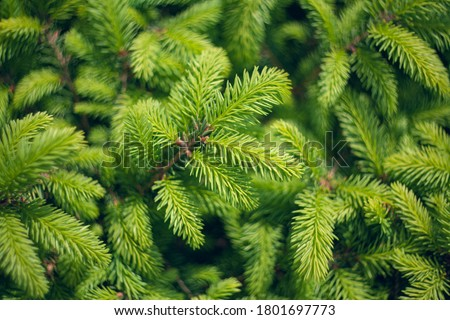Norway spruce - Picea abies or European spruce new needles. Natural coniferous background texture. Selective focus blur. Royalty-Free Stock Photo #1801697773