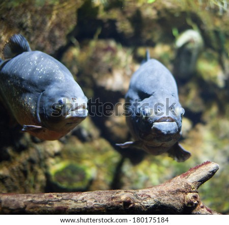 Picture of piranha under water