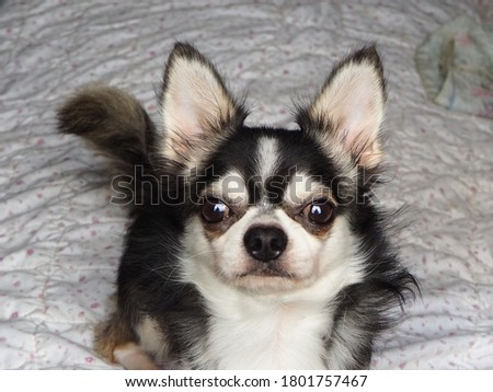 Cute black and white chihuahua dog pictures