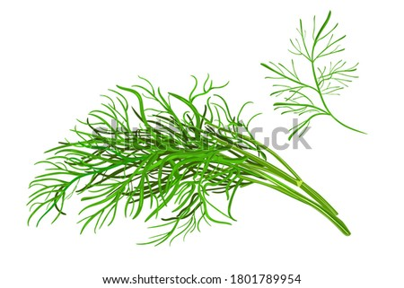 Dill  isolated on white background. Fresh bunch dill. Dill weed twig for menu, packaging, cooking book, web, label design. Spicy aromatic annual herbs are grown in the garden.Stock vector illustration #1801789954