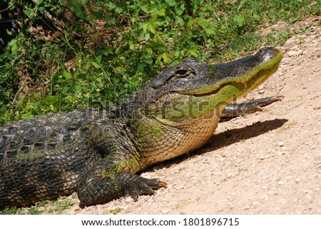American Alligator Close Up Head and Feet Green Wildlife in Natural Habitat on Sand with Plant Background Large Predator Wild Animals Swamp Creature in Nature Park Conservation Dangerous Claws Scales Royalty-Free Stock Photo #1801896715