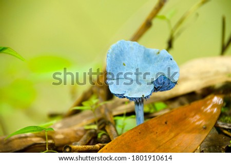 Close-up picture of mushroom (Blue Mushrooms in rain forest) Thailand. The small mushroom is a distinctive all-blue colour