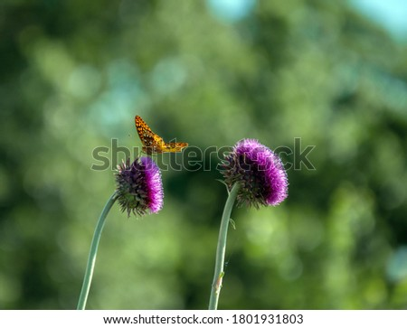 The combination of a purple thistle weed and an orange Great Spangled Fritillary butterfly against a nice defocused green background makes a pretty picture from Missouri.