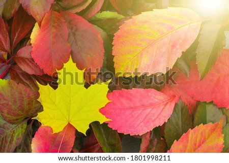 colorful fallen leaves on the ground. Colorful and bright background of fallen autumn leaves. concept of autumn mood and Canada day