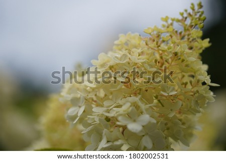 Close-up picture of an inflorescence of Hydrangea