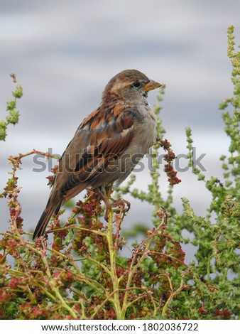 Sparrow (Passer domesticus) sitting on the top of the branch. Picture taken in Sweden.