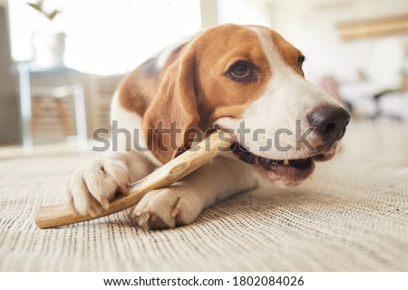 Warm toned close up portrait of cute beagle dog chewing on treats and toys while lying on floor in home interior Royalty-Free Stock Photo #1802084026