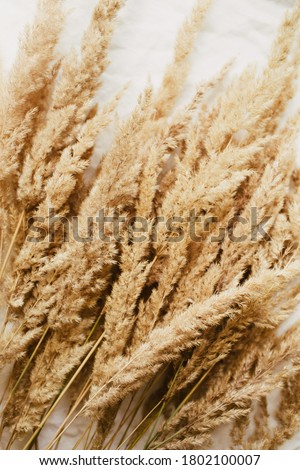 Beige reeds agains pampas plumen on the grey linen bed. Beautiful pattern with neutral colors. Minimal, stylish, trend concept. Flat lay, top view. ?onochrome image. Close up photo.