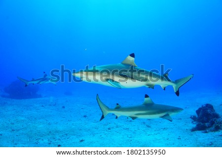Three black tip reef sharks patrolling reefs at Morotai Island of Indonesia