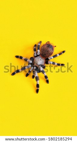 tarantula spider with yellow background. Tarantulas comprise a group of large and often ″hairy″ spiders of the family Theraphosidae Currently, about 1,000 species have been identified.