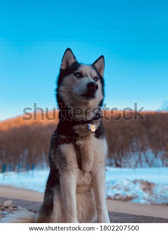 Beautiful picture of a husky dog