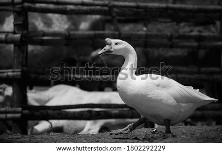 Black and white picture of a goose walking