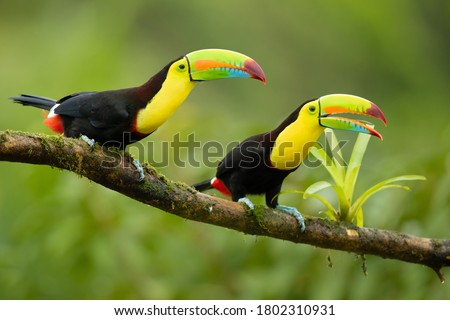 Keel-billed toucan (Ramphastos sulfuratus), also known as sulfur-breasted toucan or rainbow-billed toucan, is a colorful Latin American member of the toucan family.