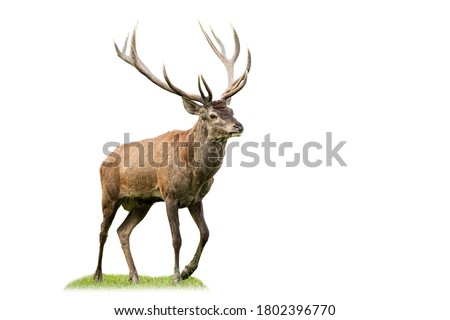 Majestic red deer, cervus elaphus, marching on glade from side view isolated on white background. Animal wildlife cut out on blank. Male mammal with brown fur and antlers walking. Royalty-Free Stock Photo #1802396770