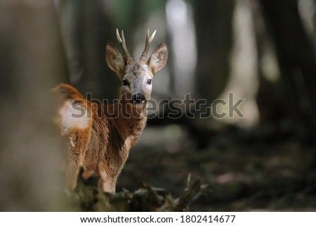 Roe deer in a closed forest Royalty-Free Stock Photo #1802414677