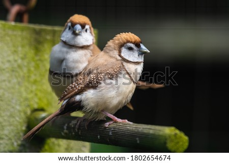 Double Barred Finch Perched on a Feeder Royalty-Free Stock Photo #1802654674