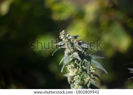 Marijuana grows in nature. The cannabis plant in sunlight. Hemp leaves. Natural marijuana background.