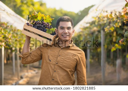 Freshly harvested blue grapes in the hands of happy farmers. farmer male hands picking grape with laptop , grapes harvest. Happy worker picking black grapes on family vineyard. #1802821885