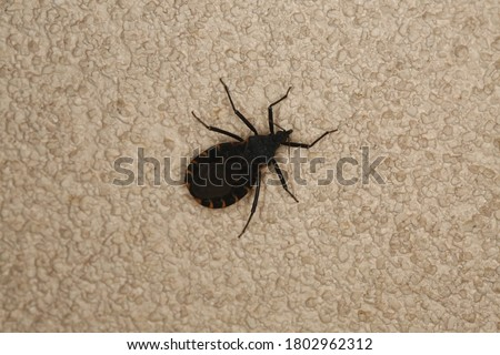 Kissing bug on textured surface,  isolated close up.