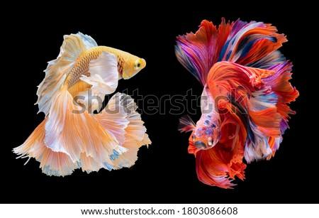 Beautiful movement of red and yellow Betta, Siamese fighting fish, Two betta fish are fighting, Betta splendens, Half moon Betta fish isolated on black background. #1803086608