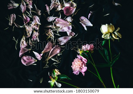 petals of a wilted flower on a dark background. wilted peony on a dark blue background. summer texture with petals. scattered flower petals. flying petals on a dark background #1803150079
