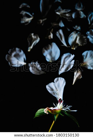 petals of a wilted flower on a dark background. wilted peony on a black background. summer texture with petals. scattered flower petals. flying petals on a dark background #1803150130