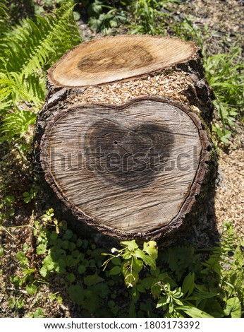 two sawn down tree trunks side by side. on one in the middle is a dark heart made by nature. A symbol of eternal love, completeness of life, lovers forever. Heart shape on the trunk cut. Sunny day