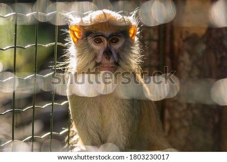 Brown fluffy zoo monkey posing for portrait picture, sitting in cage