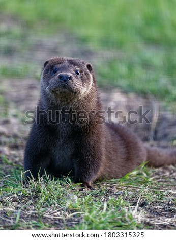 Eurasian Otter (Lutra lutra) Immature in care at wildlife rescue centre.