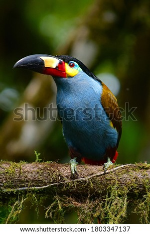 Plate-billed Mountain-Toucan a iconic toucan of Andean cloud forest located in Mindo Valley, northwestern Ecuador