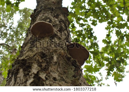 woody mushroom grows on a tree on a blurred background #1803377218