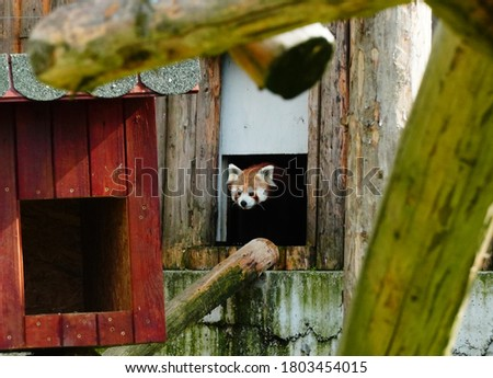 Rare picture of a red panda in captivity