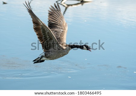 A picture of a Canada goose flying in the air.