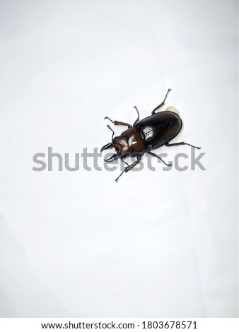 uttarakhand,india:beetle.this is a picture of a beetle on white background.this is big brown beetle with sharp teeth.creature wallpaper.