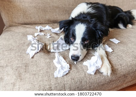 Naughty playful puppy dog border collie after mischief biting toilet paper lying on couch at home. Guilty dog and destroyed living room. Damage messy home and puppy with funny guilty look Royalty-Free Stock Photo #1803722470