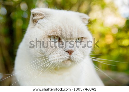 Funny portrait of short-haired domestic white kitten on green backyard background. British cat walking outdoors in garden on summer day. Pet care health and animals concept Royalty-Free Stock Photo #1803746041