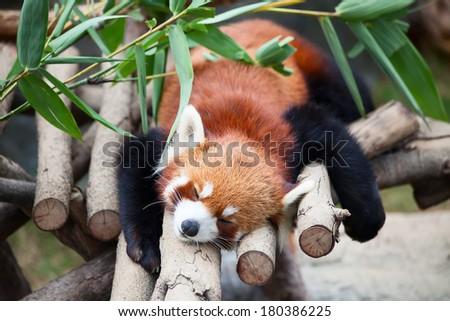 Red panda (firefox) sleeping on the tree #180386225