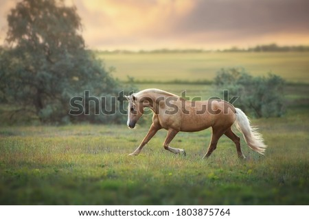 Palomino horse trotting in meadow at sunset light #1803875764