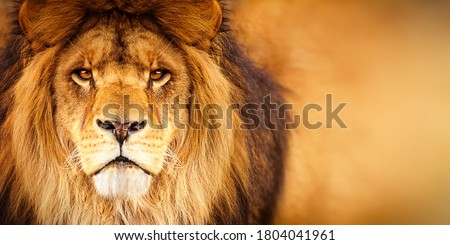 African male lion headshot looking into camera Royalty-Free Stock Photo #1804041961