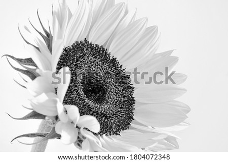 A beautiful Sunflower blossom isolated on white, selectively focused and photographed in black and white.