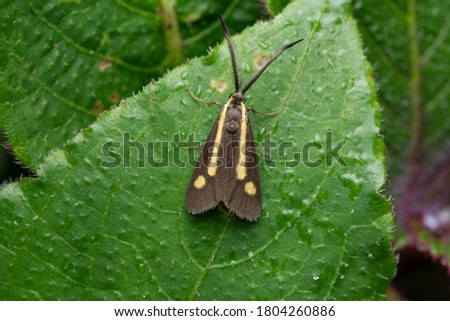Forester Moth, Procridinae. Forester moth, genus Procris or Ino is any of a group of moths in the family Zygaenidae that are closely related to the burnet moths #1804260886